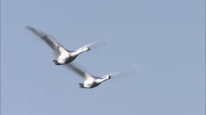 白鳥2bmp