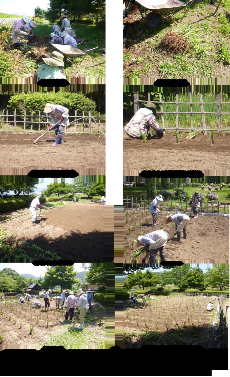 本あやめ植付作業(7月11日)-2